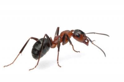 Ants - Carpenter Ants