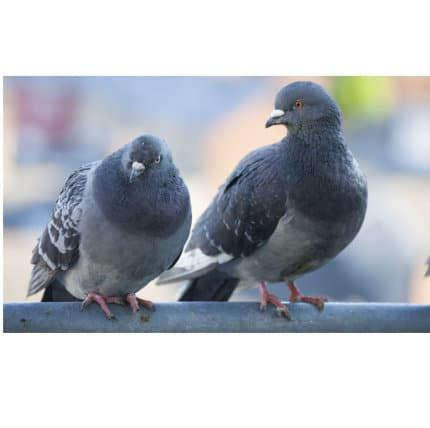 Birds Pigeon