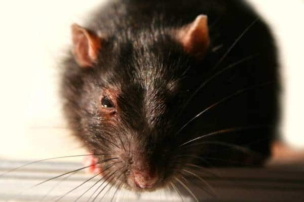 Diseases Caused by rodents