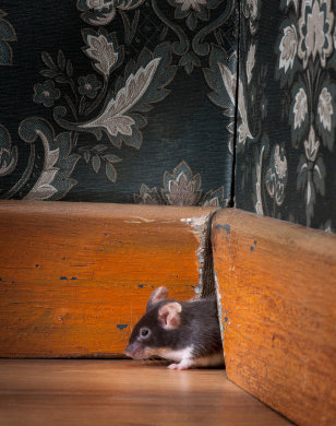 Mice get inside your home